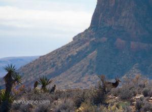 Red Rock Las Vegas buck