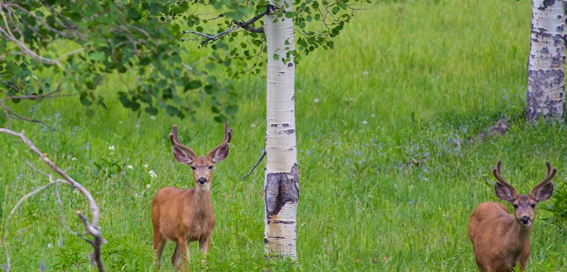Mule Deer and Hawks in Wasatch State Park, Heber City, Utah