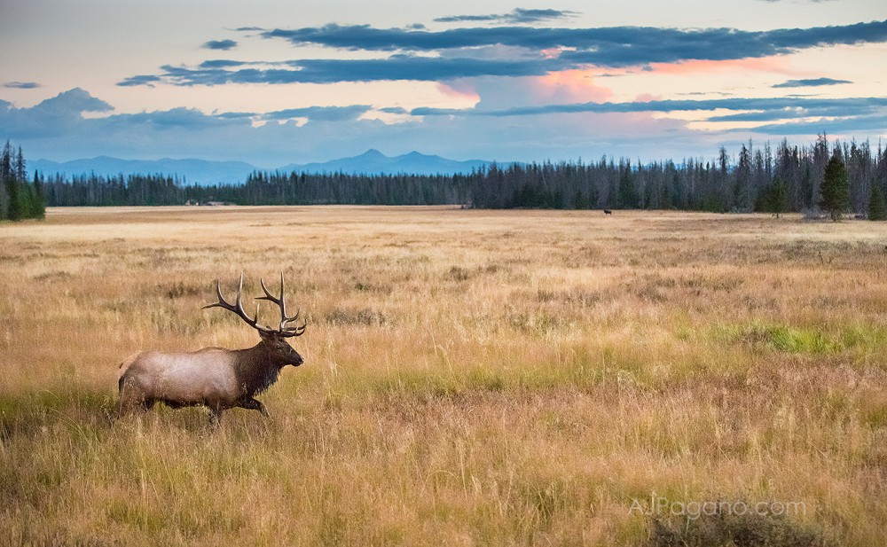 Rocky Mountain Elk in the meadow
