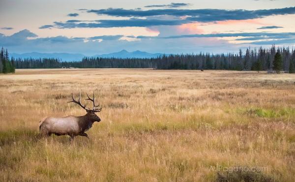 Rocky Mountain Elk in the meadow