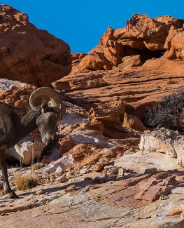 Desert Bighorn Sheep Tongue