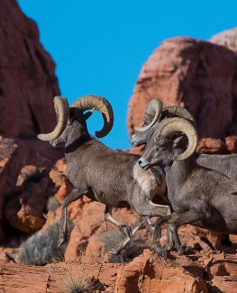 Rams running in Valley of Fire State Park