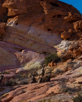 Valley of Fire Rams on a Palette of Colors