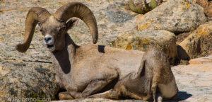 Zion Sheep blog announcement