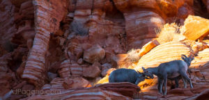 Lambs at play in Valley of Fire