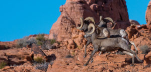Valley of Fire sheep