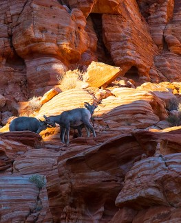 Valley of Fire Lambs on Fire